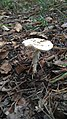 Mushroom in Swedish forest 12.jpg