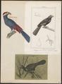 Musophaga violacea - 1700-1880 - Print - Iconographia Zoologica - Special Collections University of Amsterdam - UBA01 IZ19300029.tif