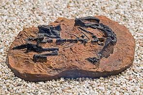 Mussaurus patagonicus, Fossil eines Jungtieres
