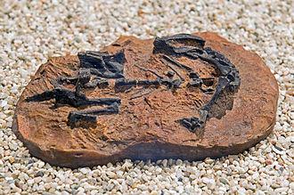 Mussaurus - Fossil juvenile skeleton