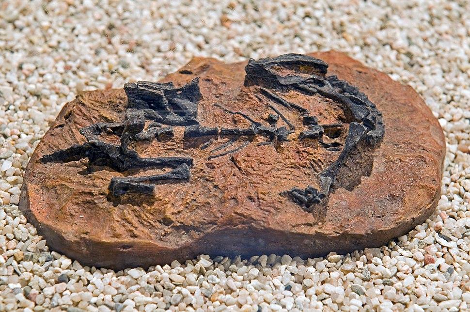 Mussaurus patagonikus DSC 2904