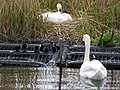 Mute Swans and Coot family, Killingworth Lake - geograph.org.uk - 1838567.jpg