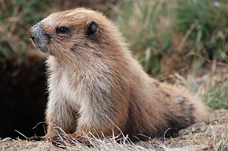 Olympic marmot Rodent in the squirrel family from the U.S. state of Washington