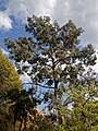 Myddelton House garden, Enfield, London ~ Eucalyptus tree.jpg