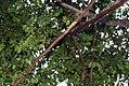 Myroxylon balsamum 2zz.jpg