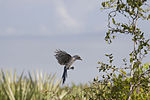 NASA Kennedy Wildlife - Florida Scrub Jay (12).jpg
