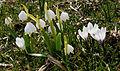 NP-By-OA-Allg.Nagelfluhkette-Balderschwang-Märzenbecherwiese 19.04.2010-NL2.jpg