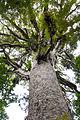 NZ150414 Kauri Waipoua Forest 01.jpg