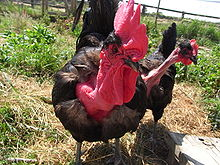 Naked Neck Chicken Facts, Breeds and All Information