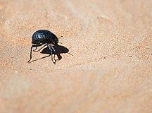 Namibia-Invertebrati-namib desert beetle