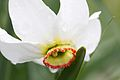 Narcissus poeticus macro.jpg