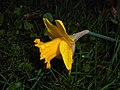Narcissus pseudonarcissus 2016-04-08 6942.JPG