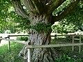 Naturdenkmal Hainbuche Döhren Melle -Unterm Baum- Datei 9.jpg