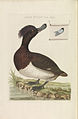 Nederlandsche vogelen (KB) - Aythya fuligula (277pl).jpg