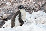 Neko Harbour Antarctica Gentoo Penguin Chick (46422034365).jpg