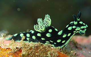 <i>Nembrotha cristata</i> species of mollusc