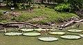 Nenúfares (Victoria amazonica), Zoo de Ciudad Ho Chi Minh, Vietnam, 2013-08-14, DD 01.JPG