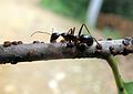 Neonipponaphis pustulosis colony on a twig of Castanopsis eyrei, attended by an ant - ZooKeys-236-081-g003.jpeg