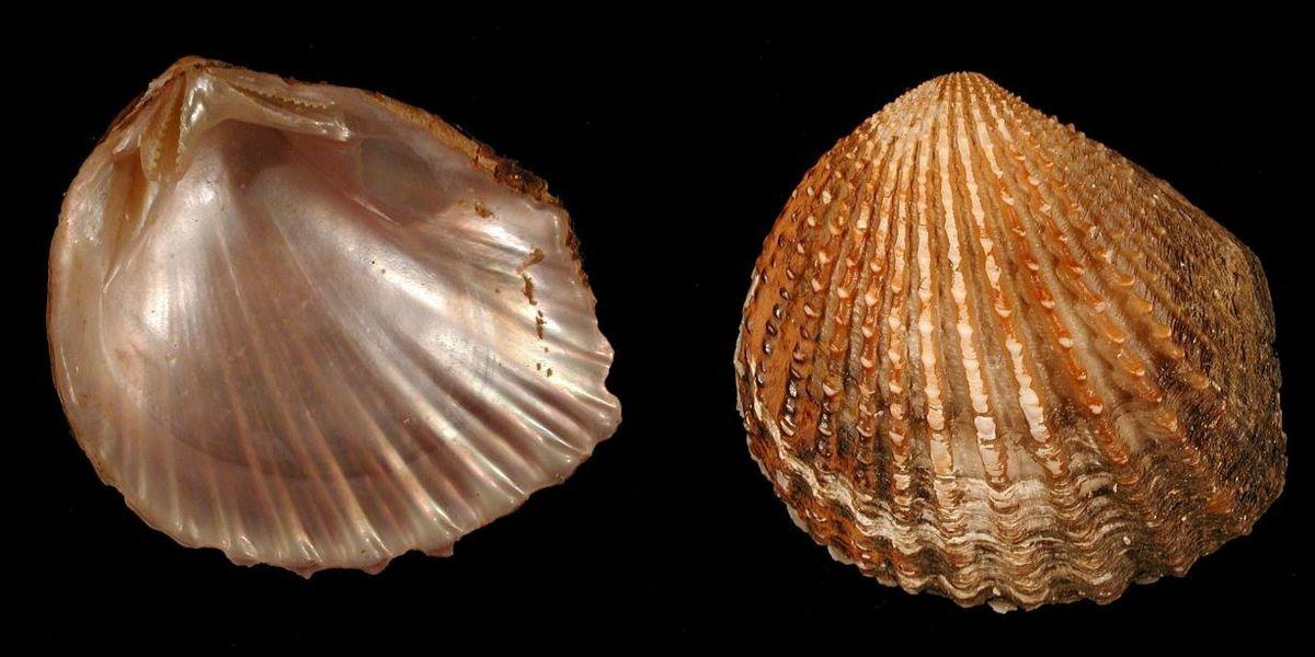 этим двустворчатый моллюск картинка неизменным атрибутом украшением