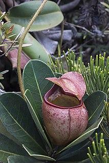 <i>Nepenthes erucoides</i>
