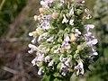 Nepeta cataria (5201973078).jpg
