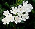 Nerium oleander white.jpg