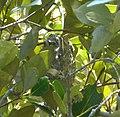 Nest of Mangrove Gerygone... G. levigaster - Flickr - gailhampshire.jpg