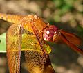 Neurothemis fulva male. - Flickr - gailhampshire.jpg