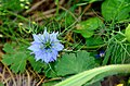 Nigella damascena* (8455747811).jpg