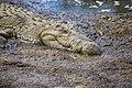 Nile Crocodile Masai River Kenya (20040001103).jpg