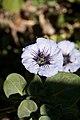 Nolana humifusa - Fleurs.jpg