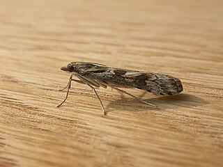 <i>Nomophila</i> Genus of moths