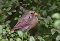 Northern Cardinal (44125963815).jpg