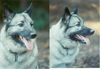 Norwegian Elkhound - Adult Norwegian Elkhound displaying characteristic friendly expression.