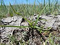 Nothocalais cuspidata (27519866131).jpg