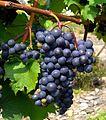 Nova Scotia grapes nearly ready for harvest.jpg