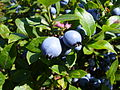 Nova Scotian Wild Blueberries.JPG