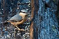 Nuthatch - Lackford Lakes (31171321093).jpg