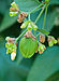 Nyctanthes arbor-tristis fruit, Burdwan, West Bengal, India 25 10 2012.jpg