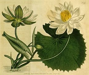 Description de l'image Nymphaea lotus 1.jpg.