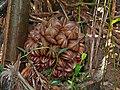 Nypa fruticans fruit.jpg