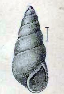 <i>Odostomia laevigata</i> species of mollusc