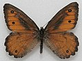 An medium-sized orange-brown butterfly with darker brown wing margins and a few wing spots.