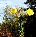 Oenothera biennis ENBLA11.jpg