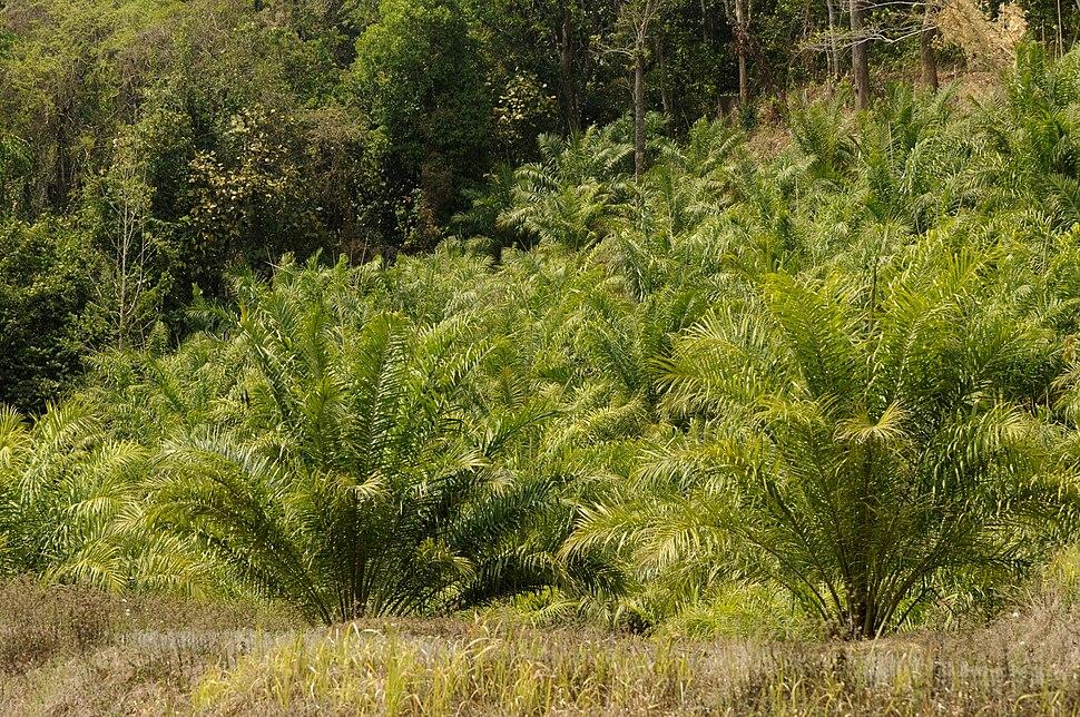 Oilpalm Mizoram DSC6906