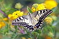 Old World swallowtail (Papilio machaon gorganus) Italy.jpg