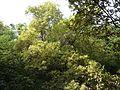 Olea dioica Roxb. (3296400369).jpg