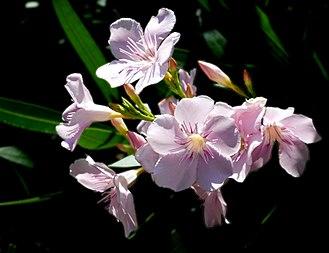 Nerium - Nerium oleander