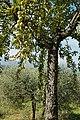 Olivenbaum (Olea europaea) 29.jpg