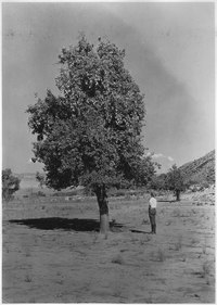 One of the many pear trees at abandoned village of Duncan, Utah. Mormon settlement 1862-1905. Abandoned account river... - NARA - 520418.tif